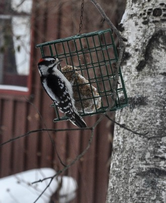 A downy woodpecker visits our suet feeder.