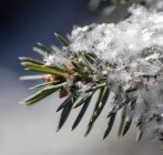 Fluffy flakes on spruce...