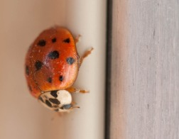 A lady bug on a sunny window sash...