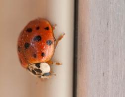 A lady bug on a sunny window sash...