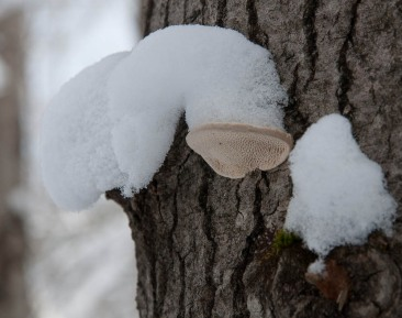 Caps of snow atop fungus...