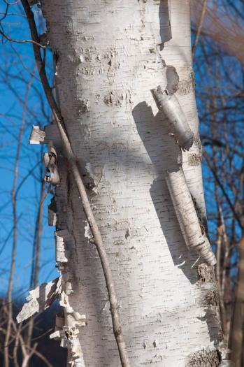 Curling birchbark on a tree along Taft Road.