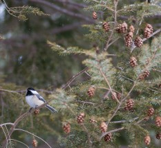A chickadee pauses in the hemlock tree before dropping to the bird feeder.