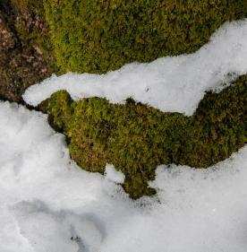 snow-moss