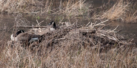 A pair of well-camouflaged Canada geese nesting in the beaver pond up on Texas Hill Road.