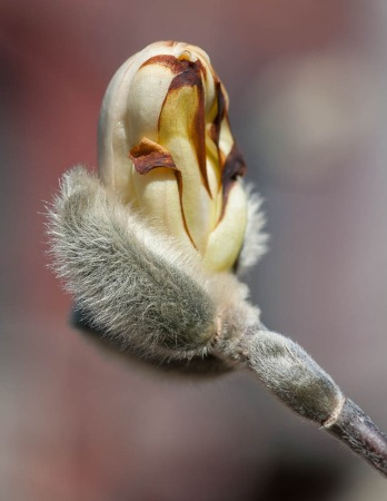 "A frost-nipped magnolia blossom ""on hold"" during this cool weather."