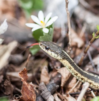 A garter snake poses next to a bloodroot along the Burlington Bike Path yesterday.