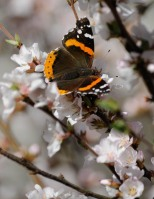 A Red Admiral enjoying the nectar of our deckside Manchu cherry bush.