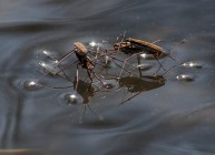 Water striders doin' the nasty on Fargo Brook a couple weeks back...