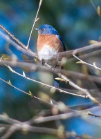 A bluebird perched in the yellow birch out by our lower garden.