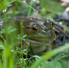 A bullfrog hanging out on the edge of the pond.