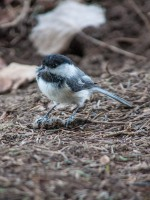 This is an unusual one: this chickadee had found the desiccated carcass of a shrew under the bushes in front of our porch and seemed to be harvesting fur for his/her nest. His mate was perched nearby watching. I've never seen anything like that before...