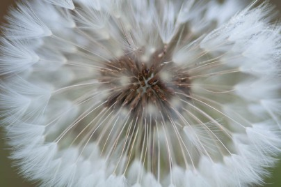 Like a tiny white firework, a dandelion seed head ready to blow away...