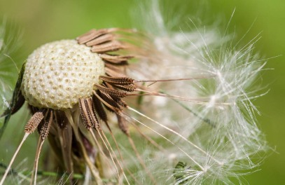 A dandelion head gone to seed...