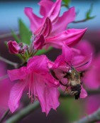 A hummingbird moth tastes the nectar of azalea next to the house yesterday afternoon.