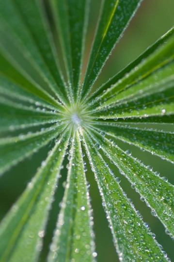 Morning dew on lupin leaves by the pond.