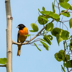 A northern oriole perched in a poplar tree over by our lower veggie garden yesterday morning.