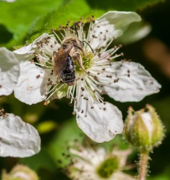 A pollen-dusted solitary bee works a blackberry blossom. It should be a banner year for berries this year!