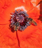 A pair of bees work a poppy bloom in our back garden. Note the dark color of the pollen clinging to their legs...