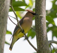 A cedar waxwing poses in the Korean Mountain Ash in our front yard. He and a buddy were eating the dried berries.