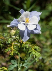 Colorado blue columbine blooming near Winter Park, Colorado.