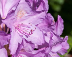 A lovely purple rhododendron bloom next to the house...