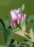 Rugosa rosebuds bursting by the pond...