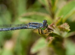 Up close and personal with a damselfly by the pond.
