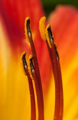 More daylily stamens--this time orange!