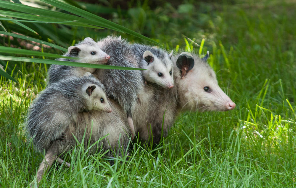 possum-babies | East Street Weather Blog