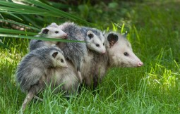A mamma 'possum and her four babies in our front yard yesterday.