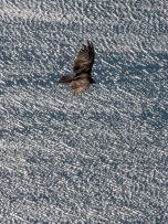 A turkey vulture glides above the waters of Lake Dunmore as viewed from the top of Rattlesnake Cliff.