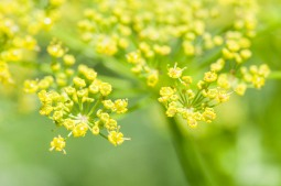 Wild parsnip up close. A pretty flower, but with a nasty bite. The sap of this invasive plant is photo-sensitive and will burn skin when exposed to sunlight. Be careful when you pick this stuff!