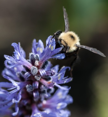 A bumble bee enjoying a good feed in the pickerel weed near Sand Bar State Park.