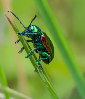 A shiny green dogbane leaf beetle out in the front field.