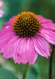 Echinacea blooming off the back deck.