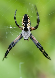 A nice garden spider out in the front field.
