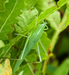 Some variety of katydid out in the front field. You had to look pretty close to see this one!