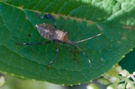 A leaf-footed bug on a hydrangea leaf on the back patio.