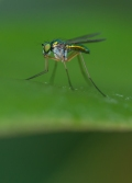 A long legged fly poses on a rhododendron leaf by the side of the house.