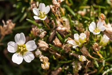 Mountain Sandwort blooming on the summit of Camel's Hump yesterday.