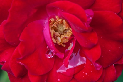 A rose with morning raindrops