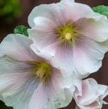 Hollyhocks blooming in the flowerbed next to the garage.