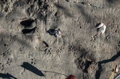 Deer and weasel (?) tracks in the silt along the Winooski River.