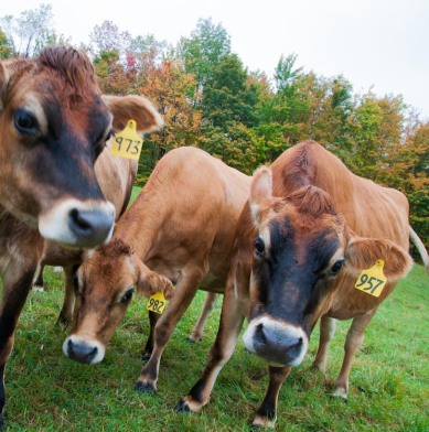 Curious cows come in close up at Windekind Farm.