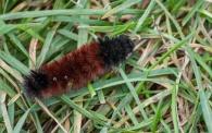 A woolly bear caterpillar. Good winter ahead?