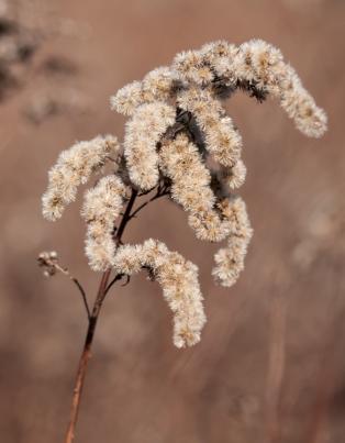 fuzzy-goldenrod