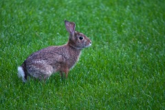 Rabbit-rabbit! A morning bunny out on our lawn...