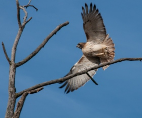 From the Department of Lucky Shots: a Red-Tailed Hawk takes wing from a dead elm tree in Charlotte yesterday
