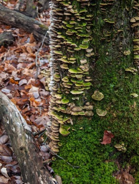 Turkey tails climb a mossy maple trunk in Bolton Notch.